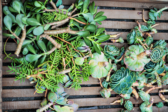Succulent Cuttings For Wreath