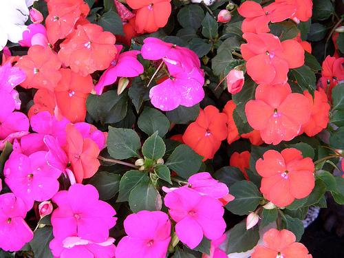 impatiens wallerina grow well in shade