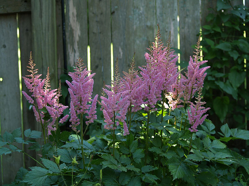 Pink Astilbe are shade-loving plants for the garden
