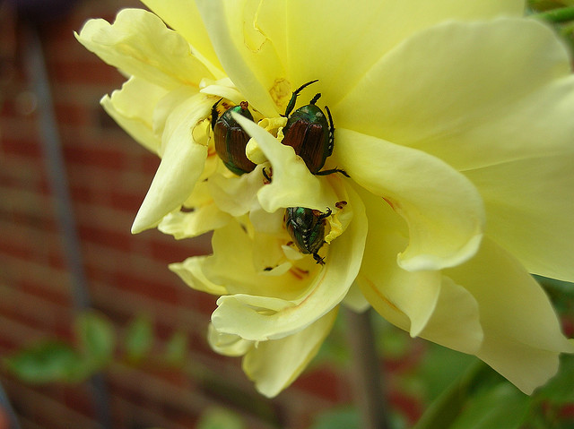 Japanese beetles on a yellow rose