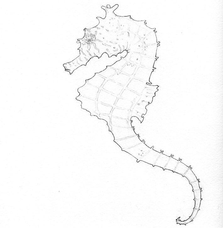 finished seahorse sketch
