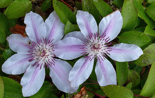 Nelly moser clematis can bloom in partial shade gardens.