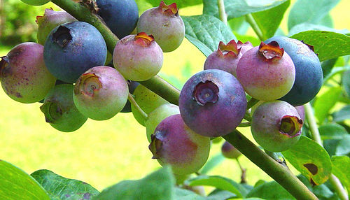 Blueberries like acidic pH soil levels
