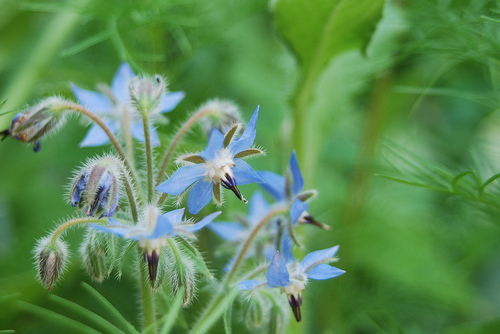 Borage flowers can be enjoyed in drinks of all types
