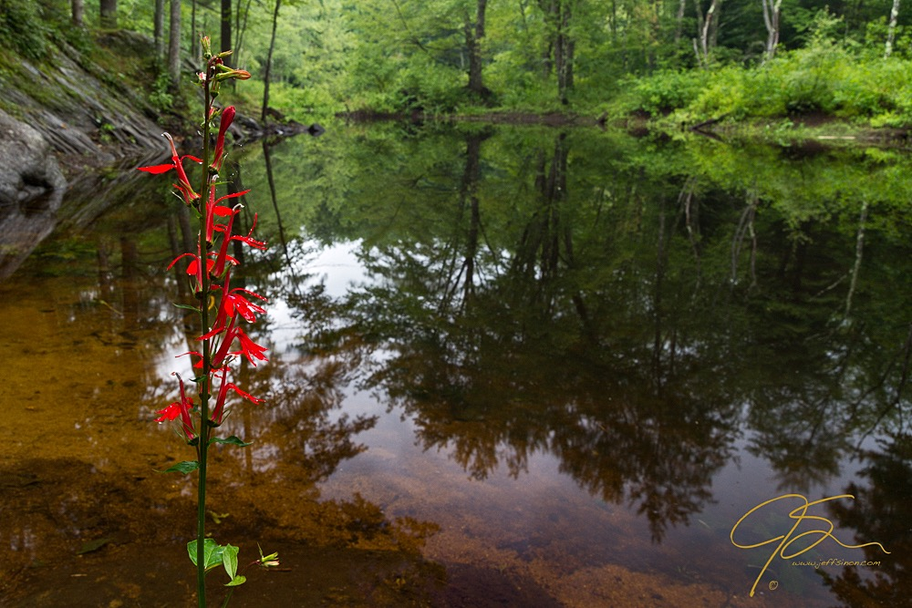 Cardinal Flower On The Isinglass