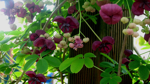 akebia is a pretty vine that grows in partial shade