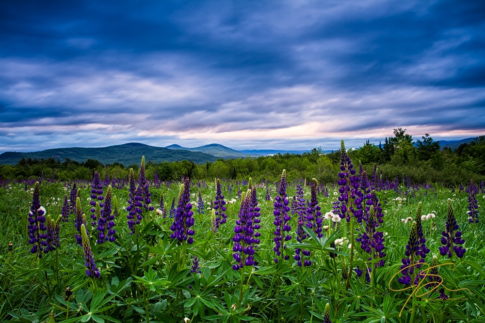 Sampler Field Lupine Under Cloudy Skies.