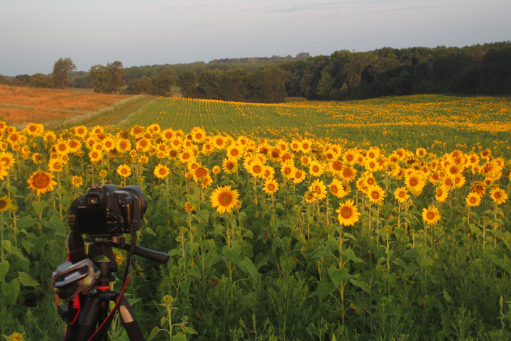 camera, photography, tripod, sunflowers