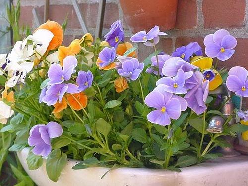 Planting pansies is a popular spring gardening chore