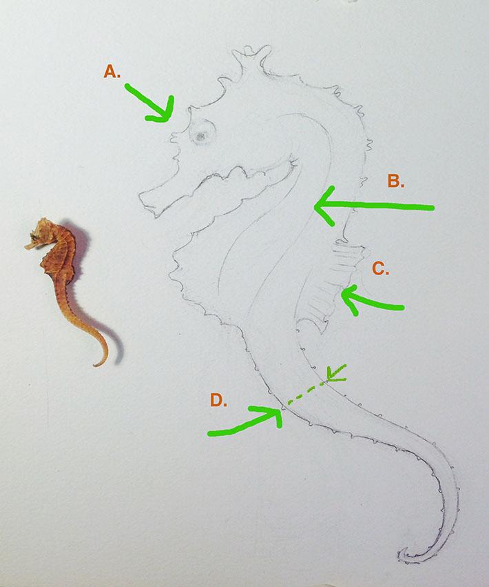 refining a seahorse sketch