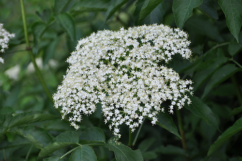 Elder flowers can be enjoyed in teas, wines and syrups.