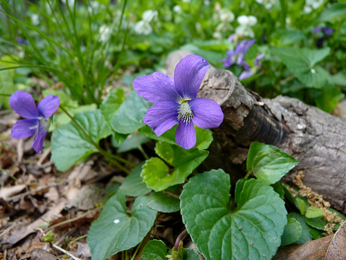 Violets have been enjoyed in drinks for centuries.