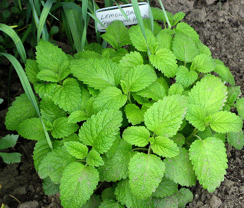 Grow lemon balm to repel mosquitoes in the garden