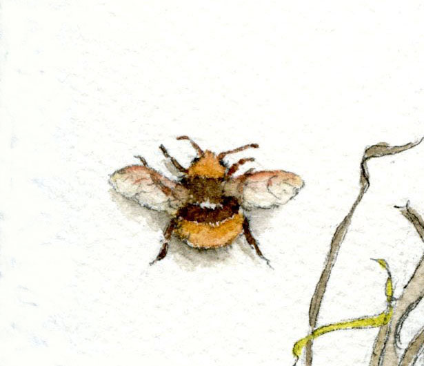 Painted Bumble Bee