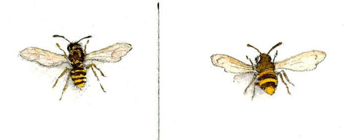 Wasp watercolor renderings