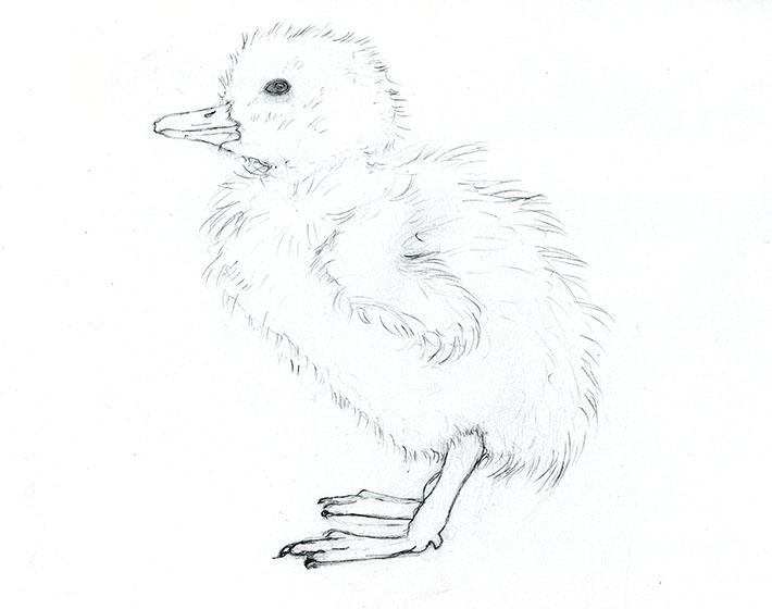 Duckling sketch