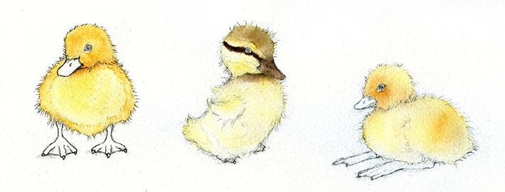 Duckling color studies