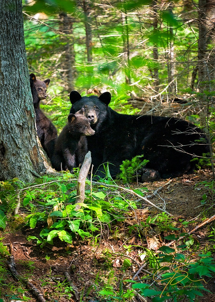 black bear sow watches over two of her cubs in the White Mountain National Forest of New Hampshire.