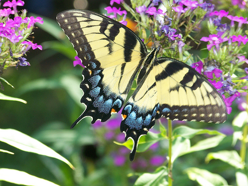Swallowtail butterfly pollinates flower