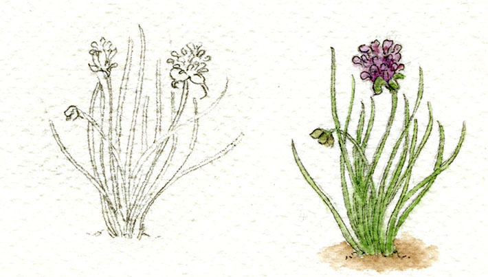 Chive sketch and watercolor