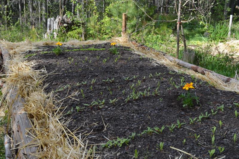 Hugelkultur bed in Spring