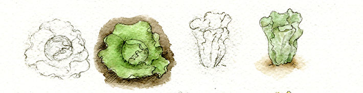 Lettuce painted with watercolors