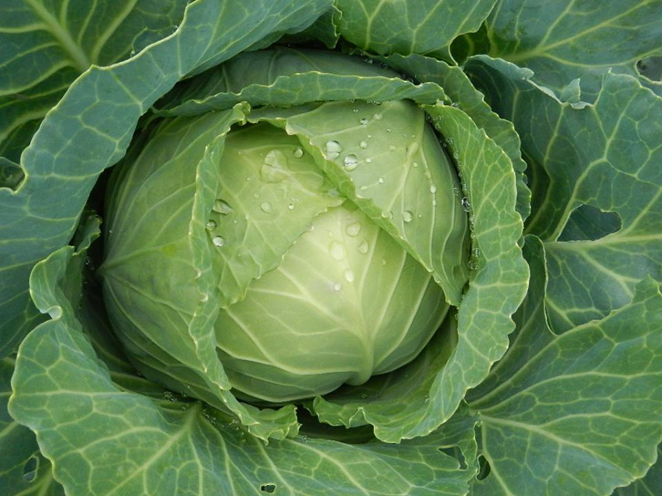 Organic heirloom cabbage
