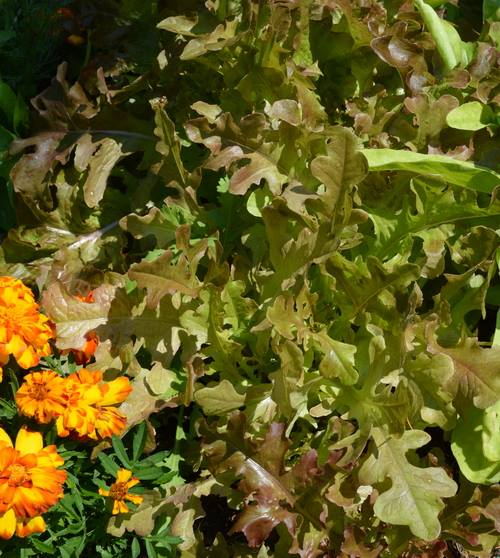Red salad bowl lettuce with marigolds - companion planting