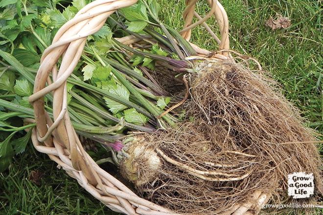 October harvest of celeriac, via Grow a Good Life