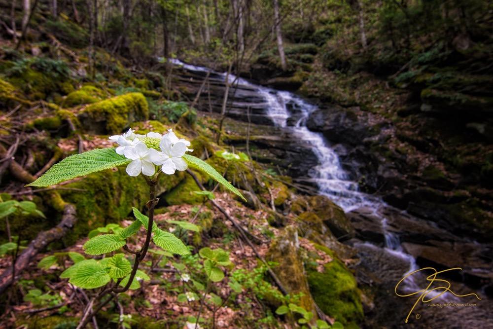 hobblebush flower near waterfall