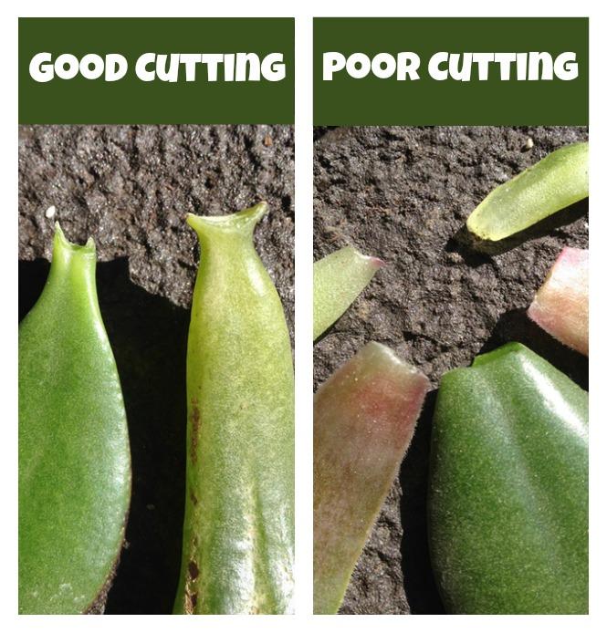 Jade leaf cuttings