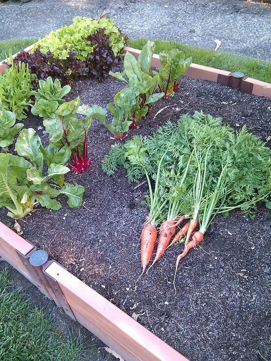 carrot bounty