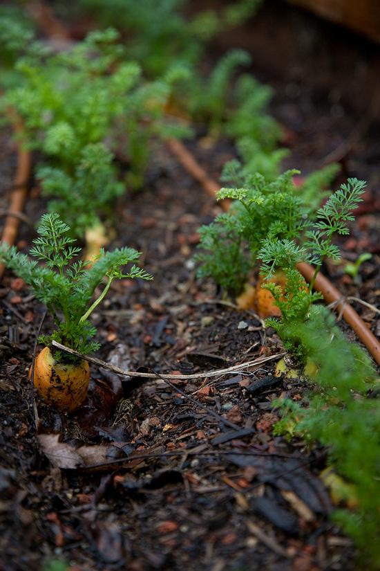 Carrots in the garden