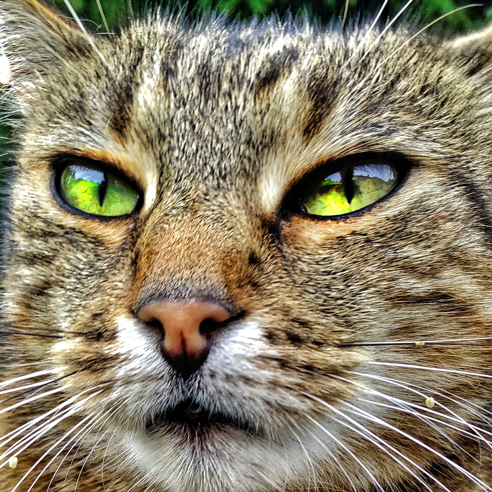 tan cat face with bright green eyes