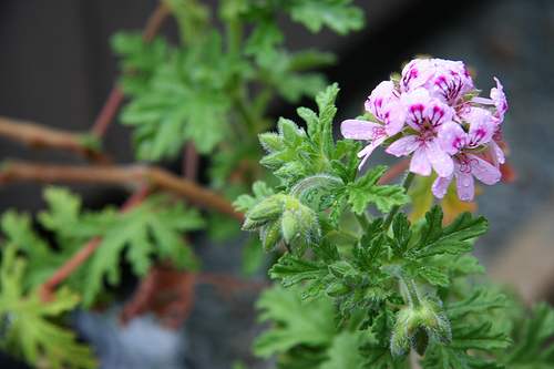 LIme geranium is fun to touch, because the leaves are scented