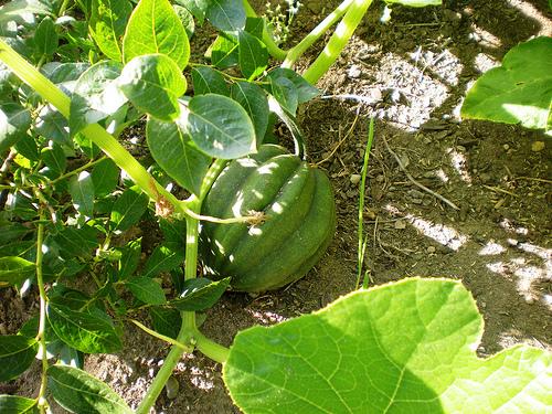 Acorn squash growing in garden