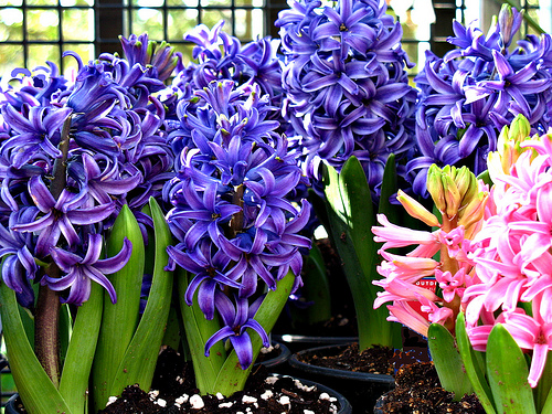 Hyacinths have star-like flowers that are fun to touch