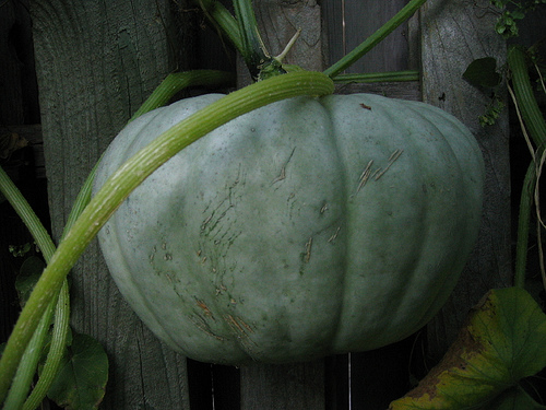 Jarrahdale squash is a beautiful and delicious winter squash to grow