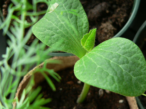 Kabocha seedling will grow into winter squash