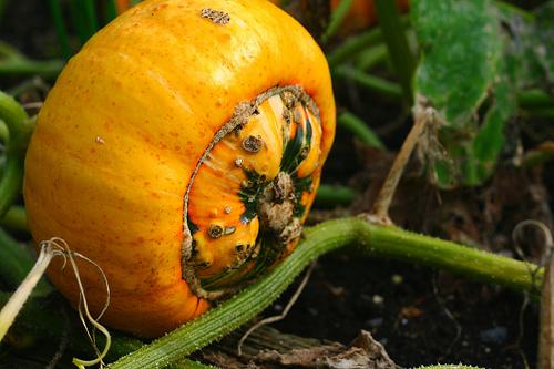 Turban squash growing in garden