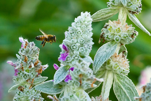 A bee with lamb's ear flowers