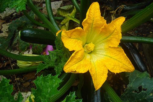 A summer squash, zucchini in bloom