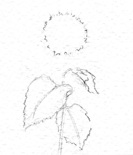 Beginning sketch of a sunflower