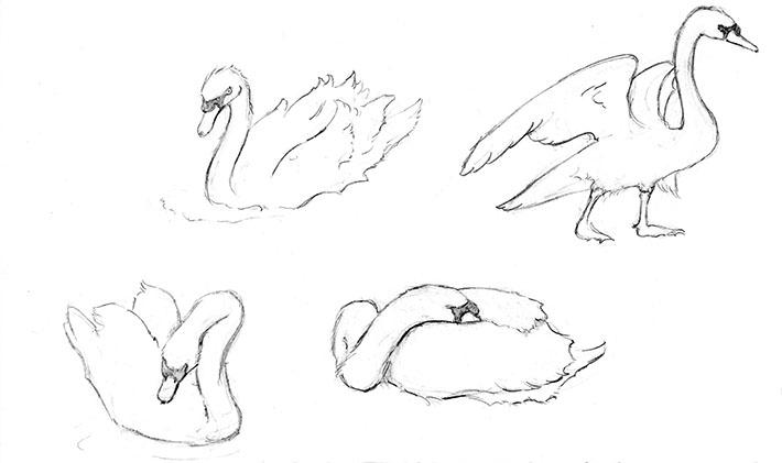 Drawings of Swans 4 Ways