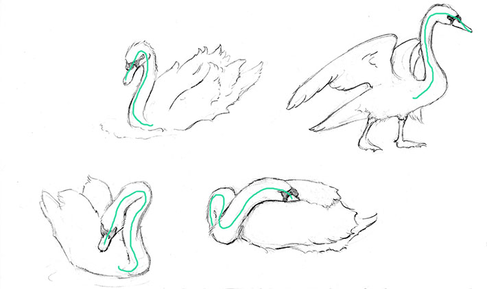 How to Draw a Swan, Step 2: Shape the neck