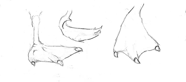 How to Draw Swan Feet