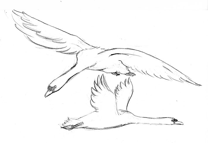 How to Draw a Flying Swan