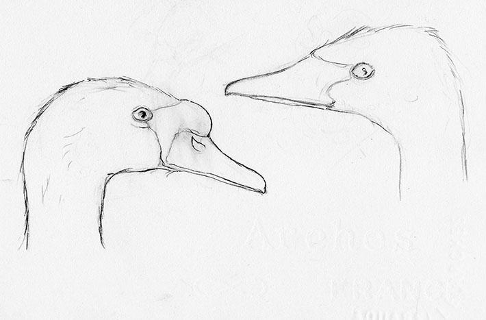 Mute and Trumpeter Swan Head Drawings