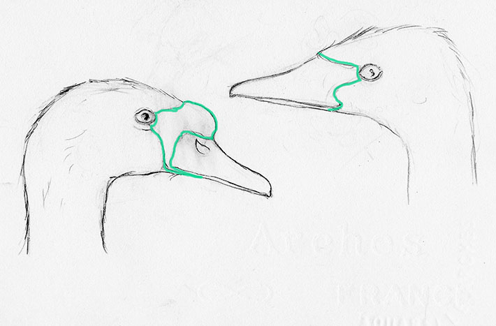How to Draw a Swan's Beak
