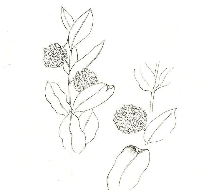 Milkweed Flower Sketch